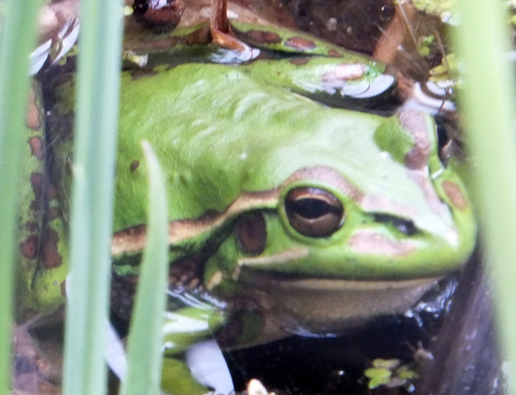 Small Green and Golden Bell Frog2